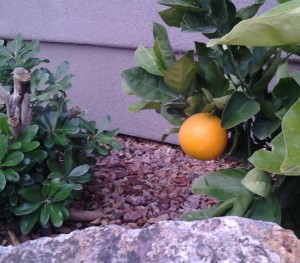 St. George dwarf orange tree